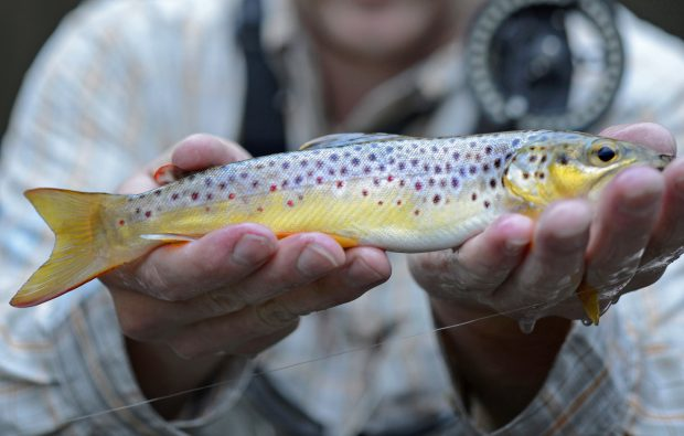 NC Brown Trout