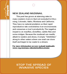 New Zealand Label Mudsnail