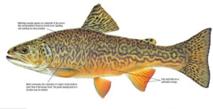 Illustration: Tiger Trout