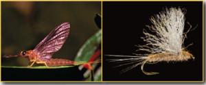 Isonychia Dun Fly