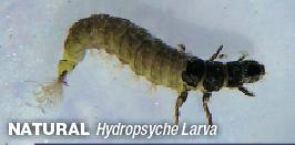 Hydropsyche_Larvae
