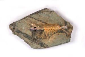 Popovics' Ultra Shrimp