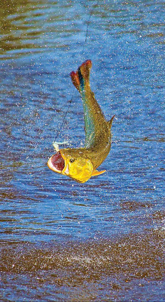 Jumping Golden Dorado with fly