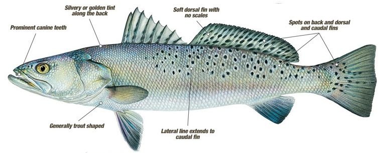 Spotted Seatrout with Labels