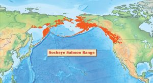 map of sockeye salmon range