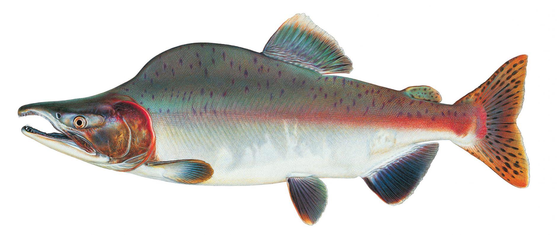 Puget sound pinks american angleramerican angler for Salmon fishing puget sound