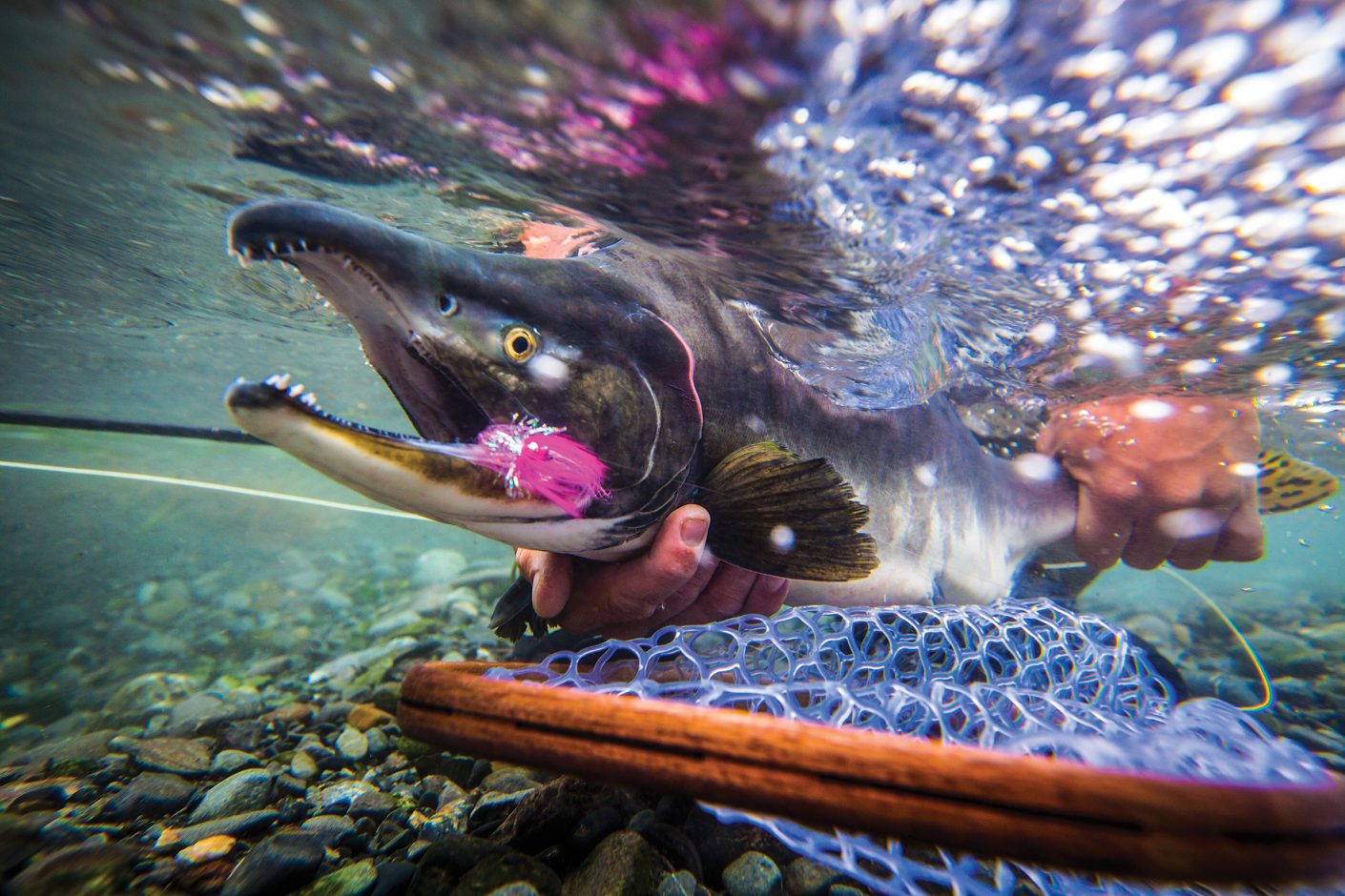 When where and how to target puget sound pinks fin and for Salmon fishing puget sound