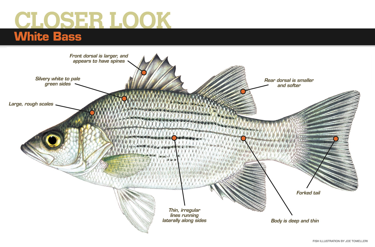 White Bass American Angleramerican Angler